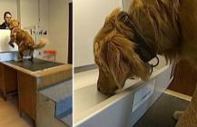 Inslag från SVT och TV4 – Här är hundarna som kan lukta sig till cancer
